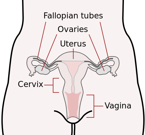 Ovary drawing reproductive system. Female organs ck foundation