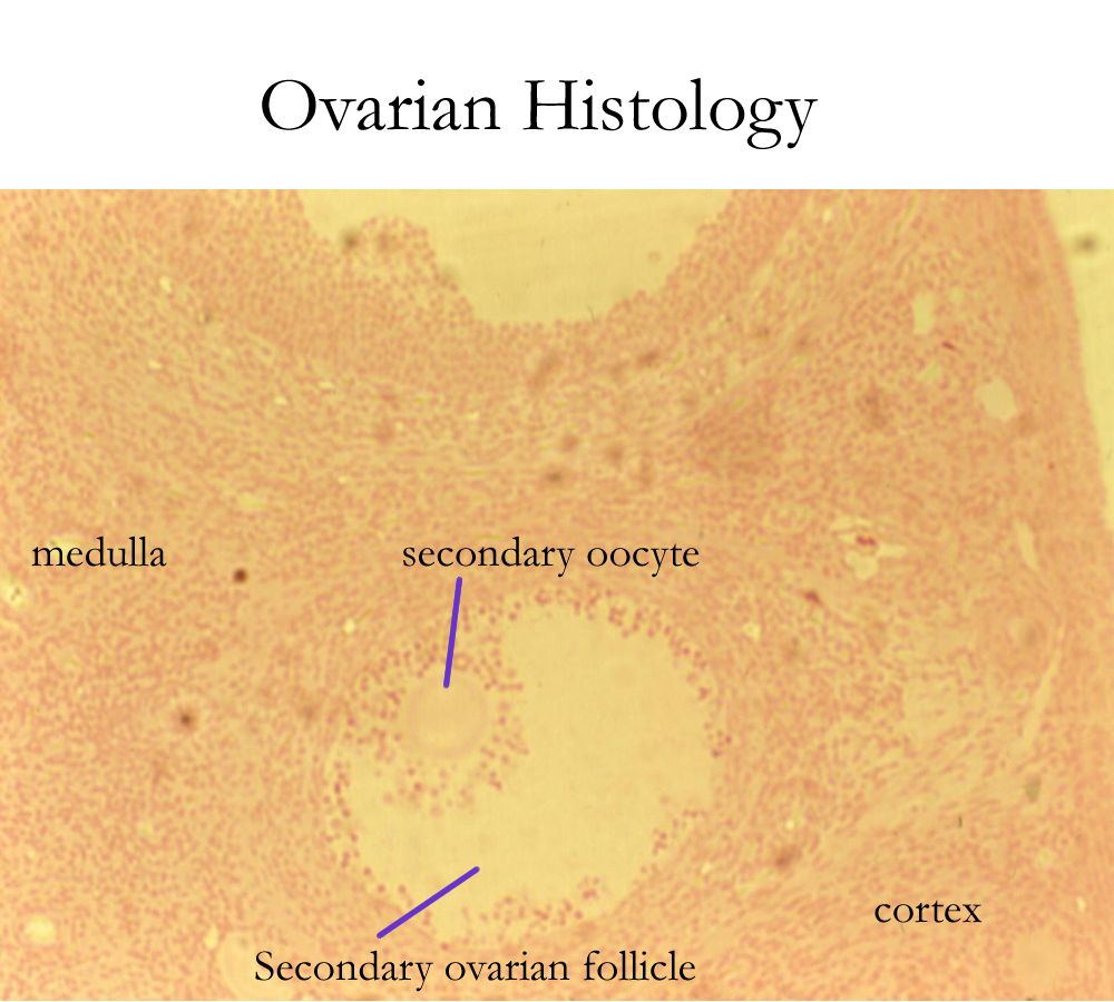 Ovaries drawing vein histology. Biology a p basics