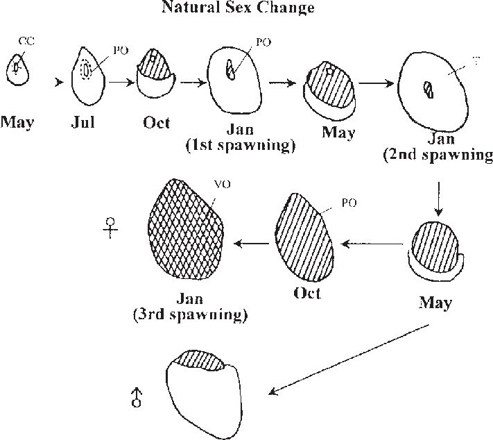 Ovary drawing gonad. Schematic figures of the