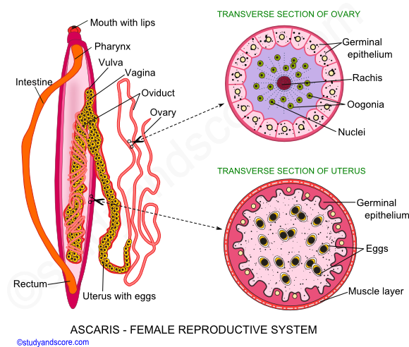 Ovary drawing gonad. Ascaris male reproductive system
