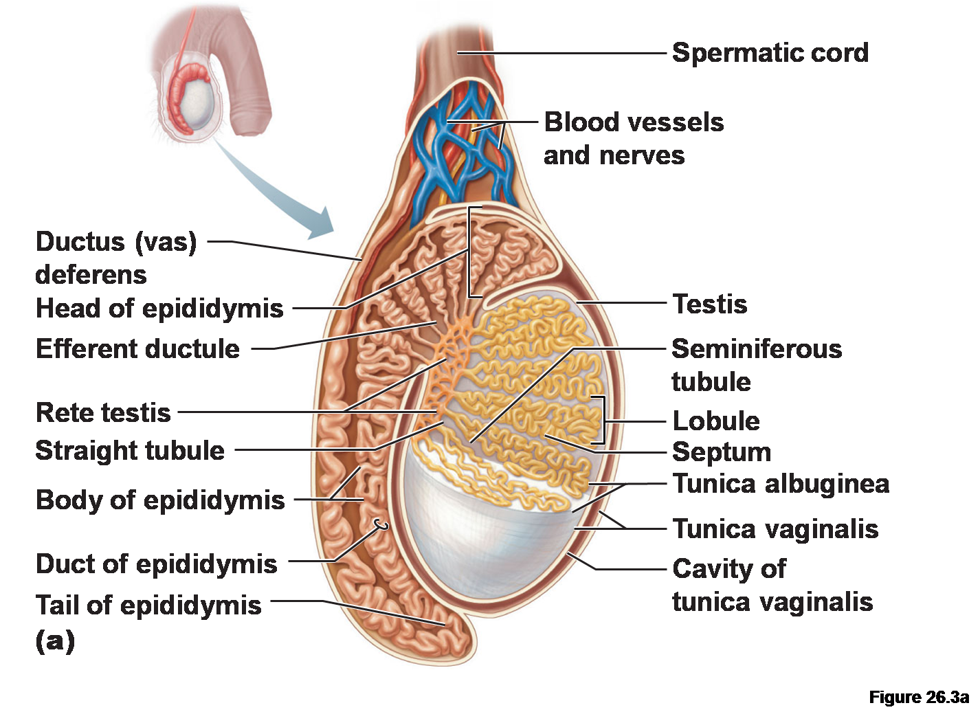 Ovary drawing gonad. Collection of free gonads