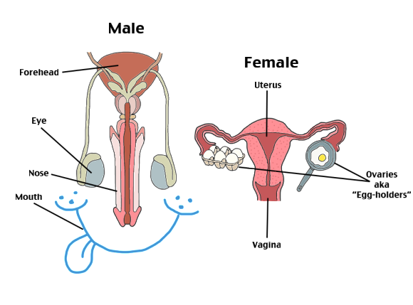 Ovary drawing reproductive system. Cute way to help