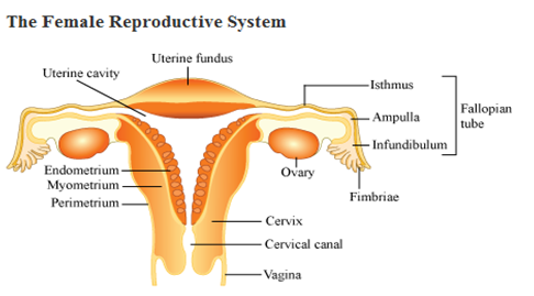 Ovary drawing reproductive system. A draw diagrammatic sectional