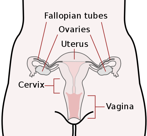 Ovaries drawing simple. The female reproductive system