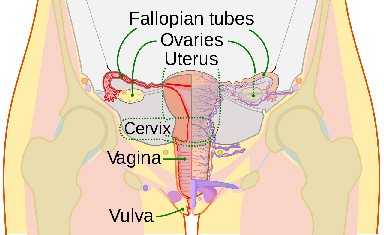 Ovaries drawing reproductive system. File scheme female en