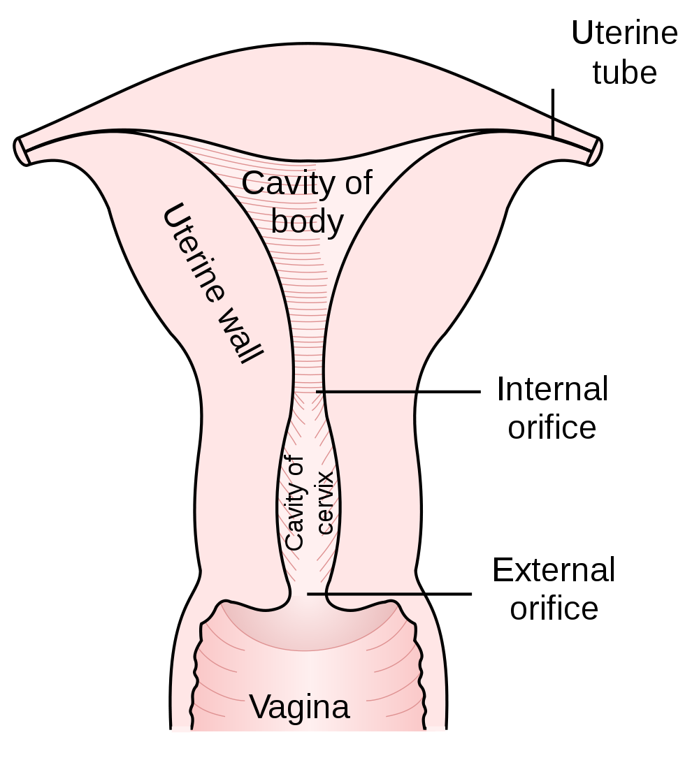 Ovaries drawing vein histology. The uterus