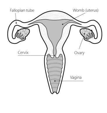Ovaries drawing normal. Ovarian cancer womens health