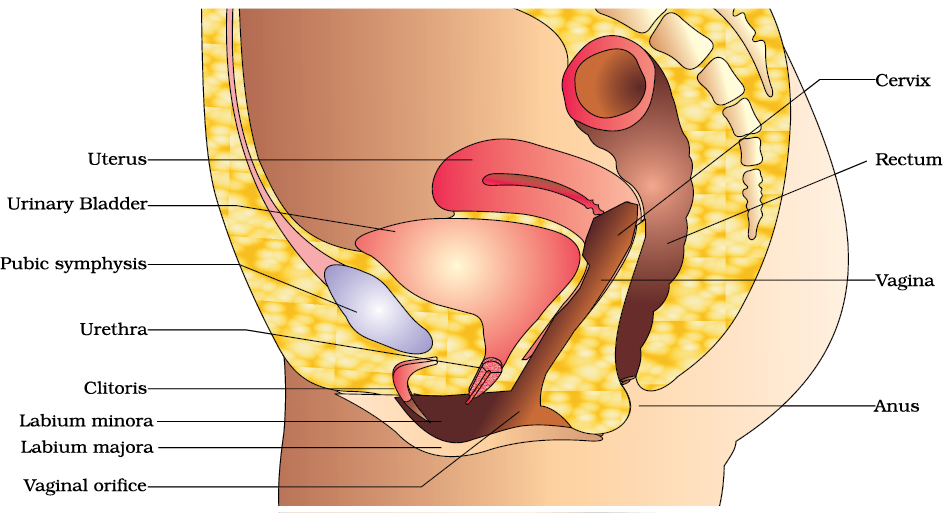 Ovary Drawing Reproductive System Transparent Png Clipart Free