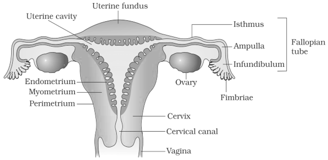 ovary drawing reproductive system  draw a labelled diagram