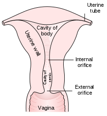 Ovary drawing vein histology. Cervix wikipedia diagram of