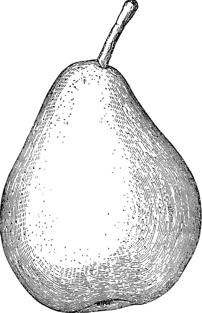 Ovate pear. Image from page of