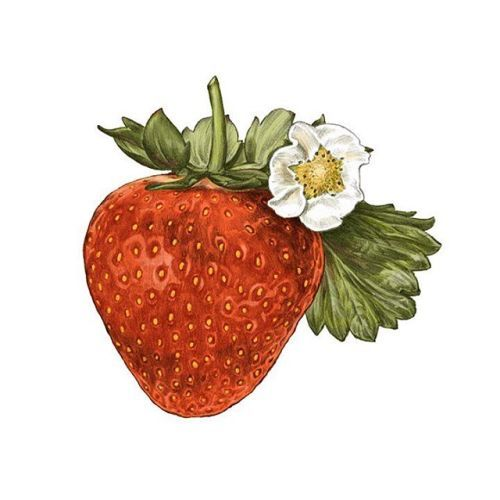 Ovate strawberry. Image result for drawing