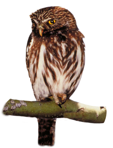 Bird yellow rumped warbler. Owl clip art owlet picture transparent library