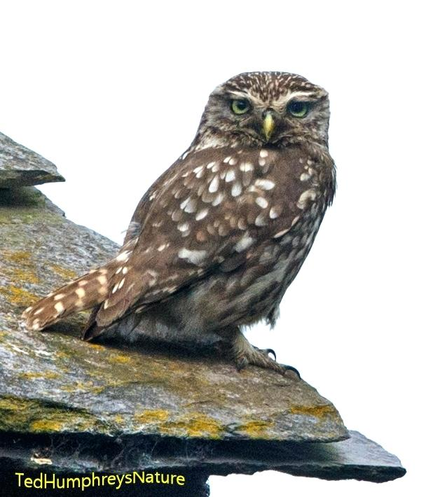 Owl clip art realistic. On roof roofing bbb