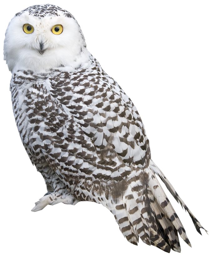 Owl clip art realistic. White png clipart best
