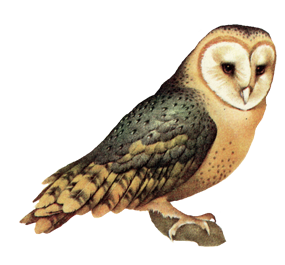 australian drawing barn owl