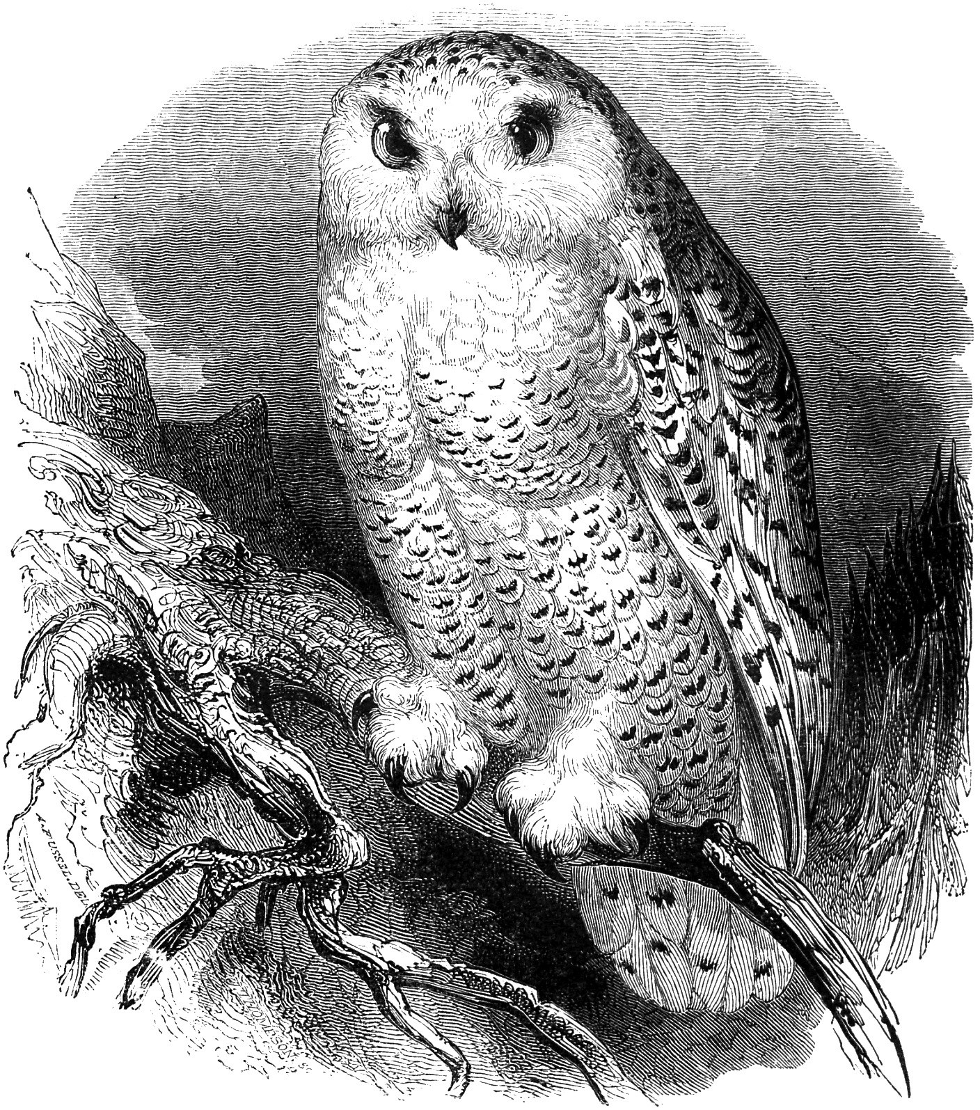 Owl clip art vintage. Free snow illustration oh