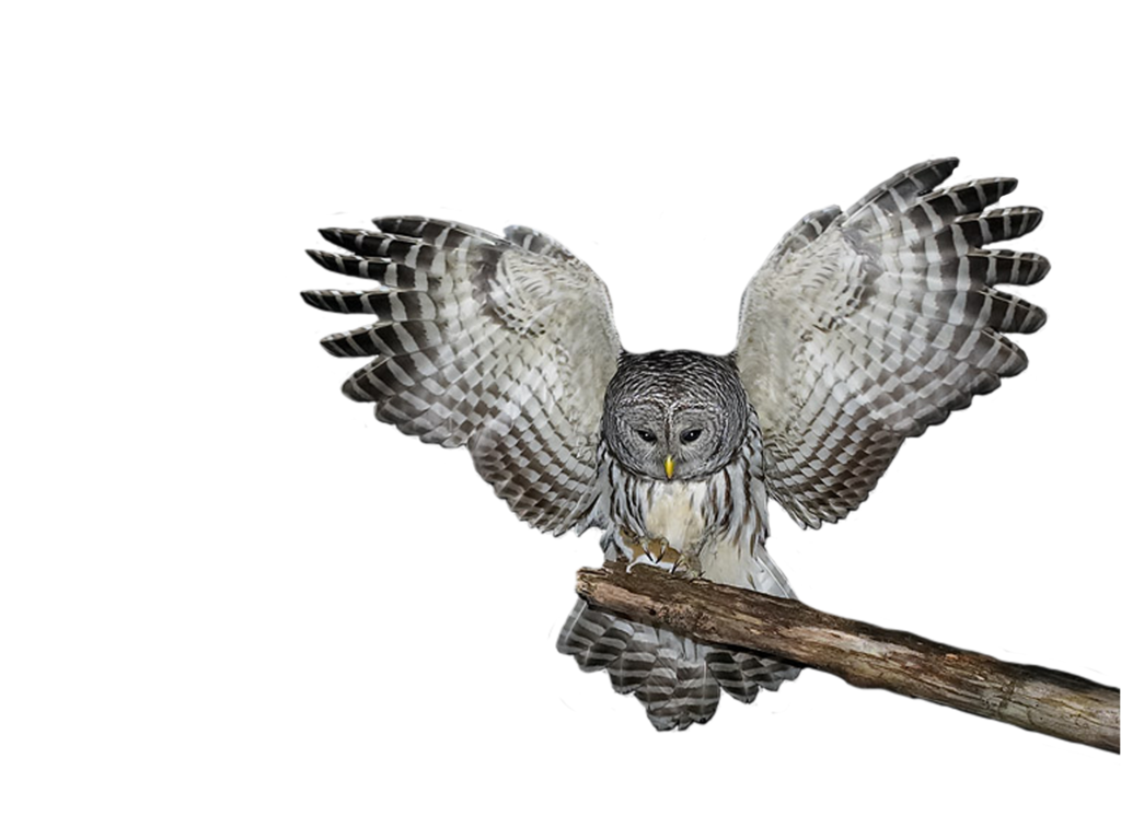 Owl flying png. Transparent images all