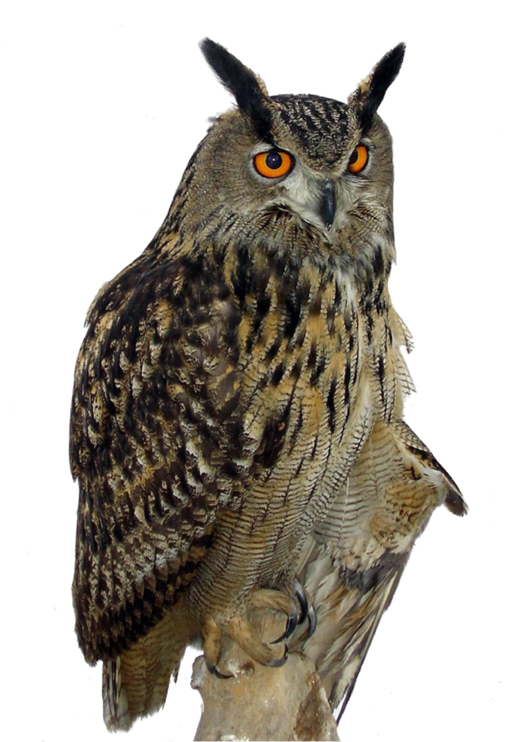 great horned owl png