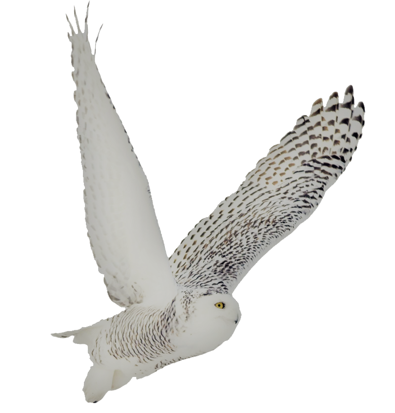 Owl legs png. Image snowy soto side
