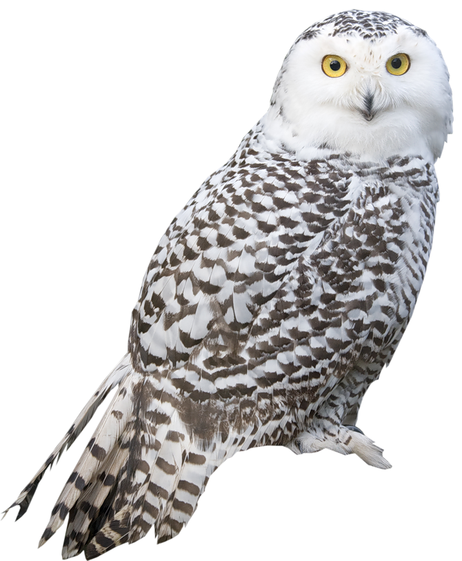 Transparent feathers owl. White png picture th
