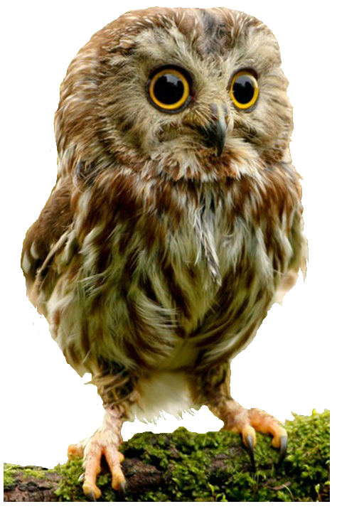 Owl png images. Owls free download bird