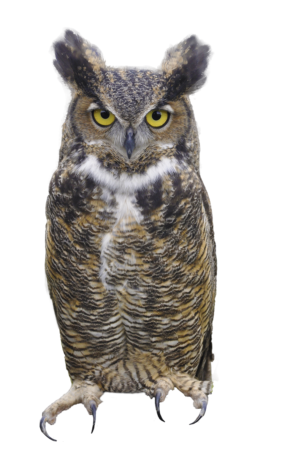 Owl png images. Transparent pluspng picture image