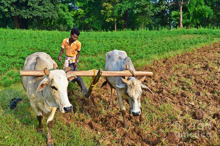 Ox agriculture indian