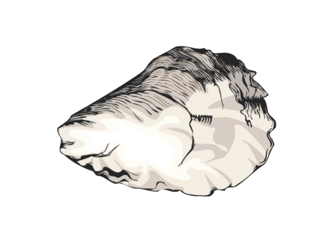 Oyster clipart drawn. Free cliparts download clip