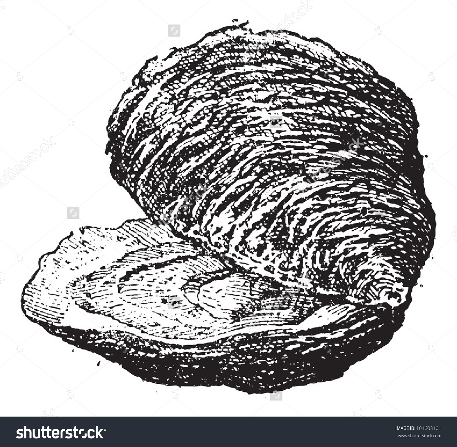 Oyster clipart bivalve. Mollusc panda free images graphic royalty free download