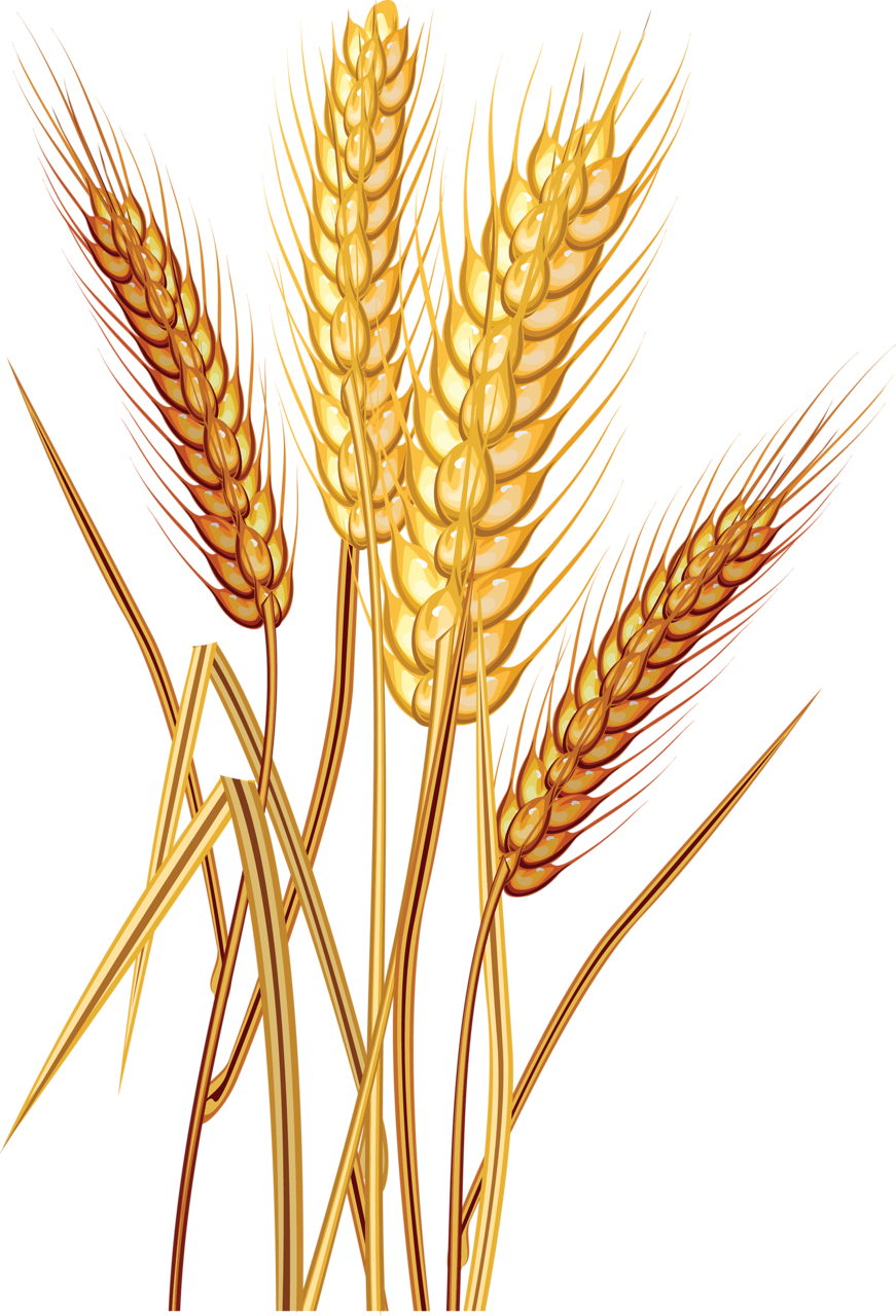 a f c. Vector wheat outline png transparent library