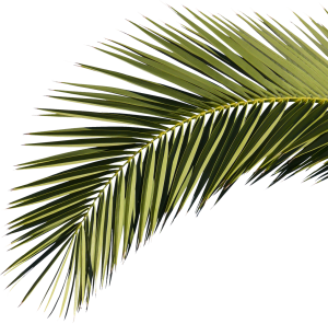Palm leaf texture png. Tree topview free download