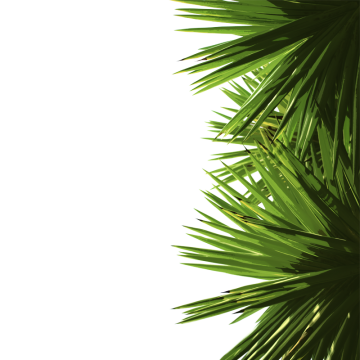 Palm leaf png. Leaves images vectors and