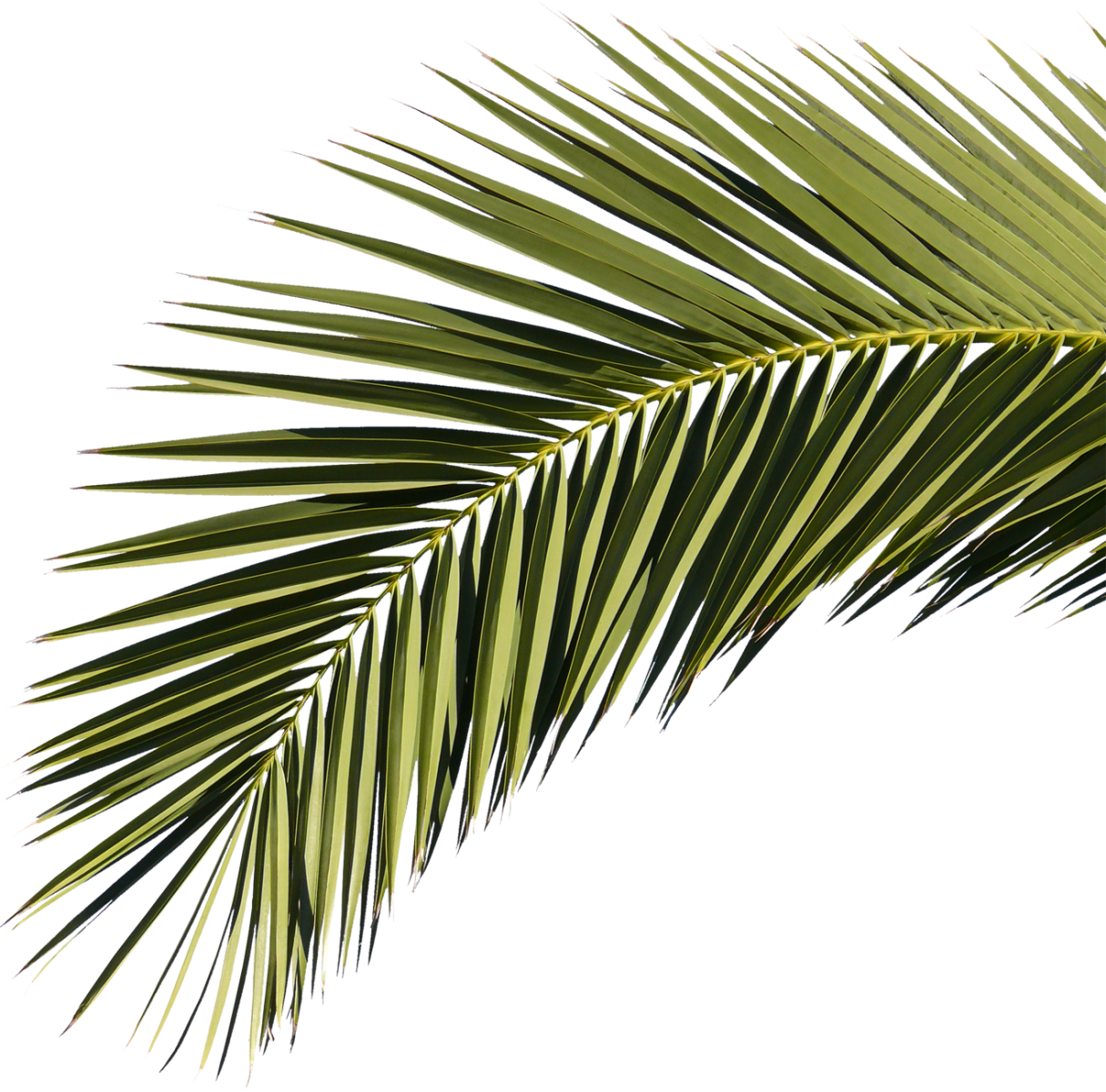 Palm leaf texture png. Branch free download by