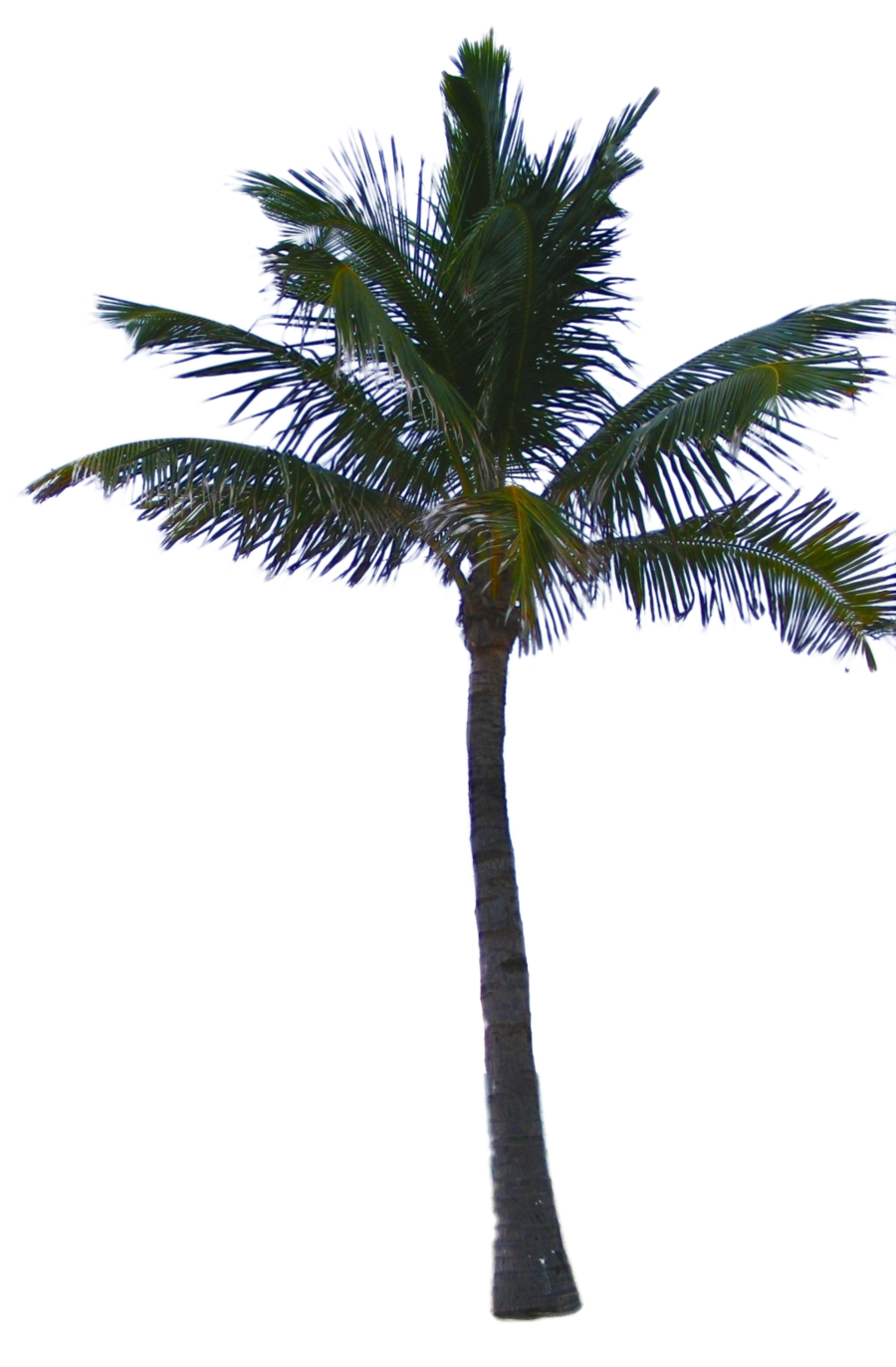 Dead palm tree png. Bush image