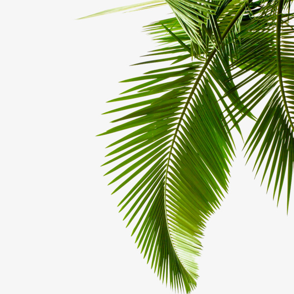 Palm clipart green branch. Leaves tropical png image