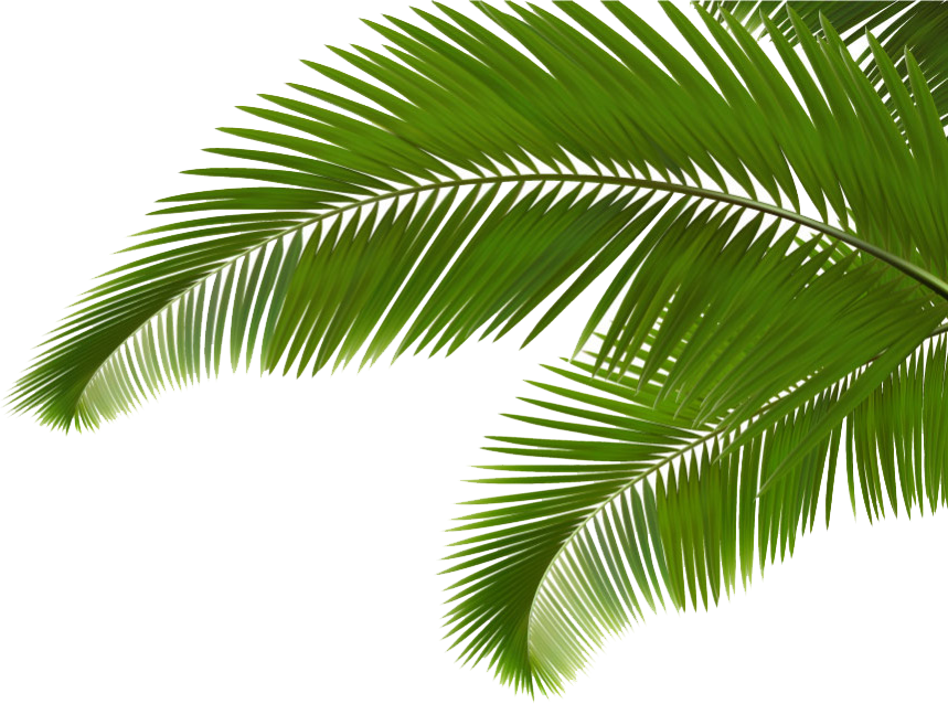 Palm frawn png. Branch arecaceae leaf frond