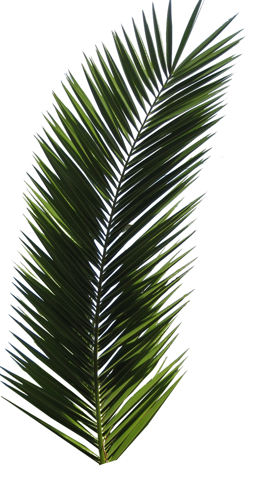 Palm leaf texture png. Tree images download free