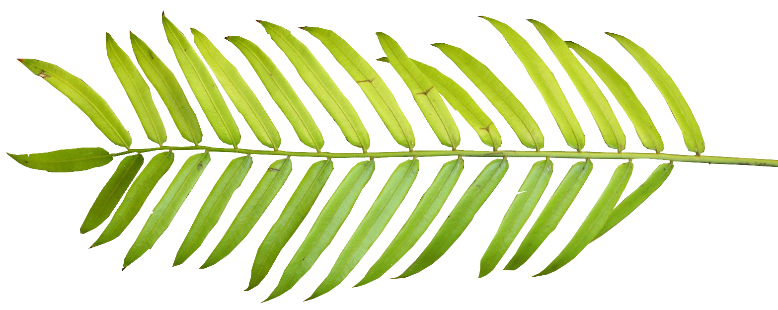 Palm leaf border png. Collection of clipart