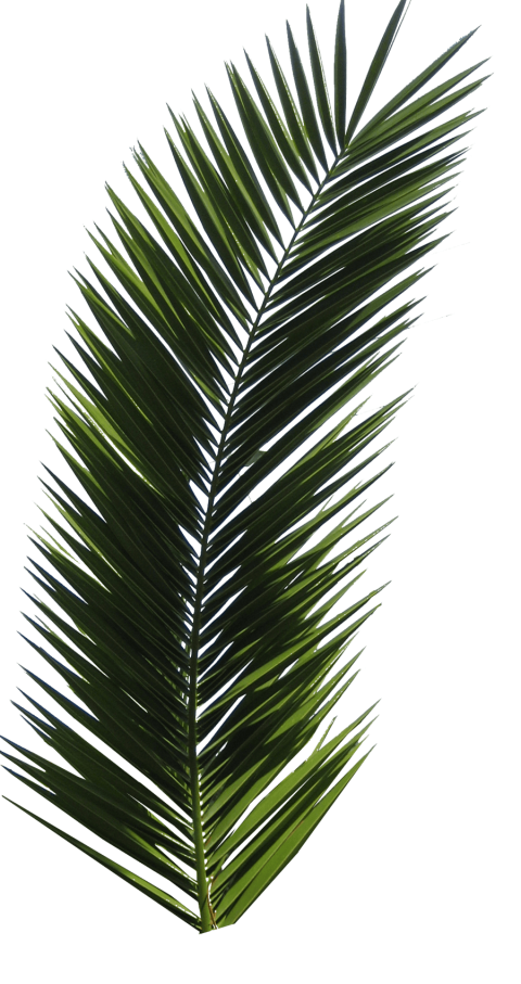 Palm leaf png. Download tree clipart photo