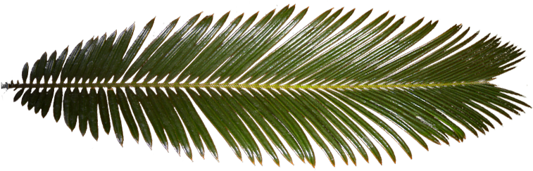 Palm leaf texture png. Download hd tree transparent