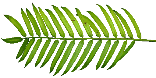 Palm leaf texture png. Index of sid aw