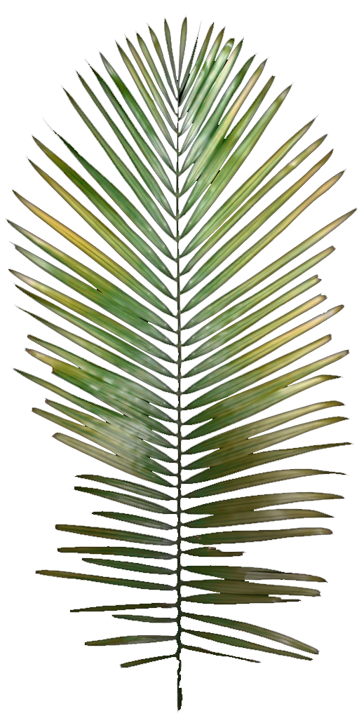 Palm leaf texture png. Tree arecaceae plant stem