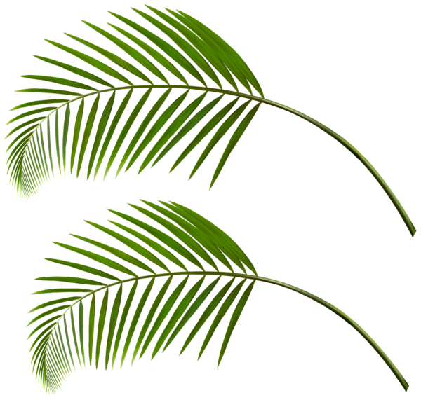 Palm leaves png. Gallery decorative elements