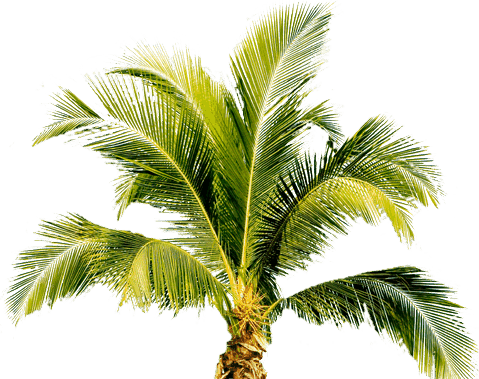 Palm plant png. Tree image