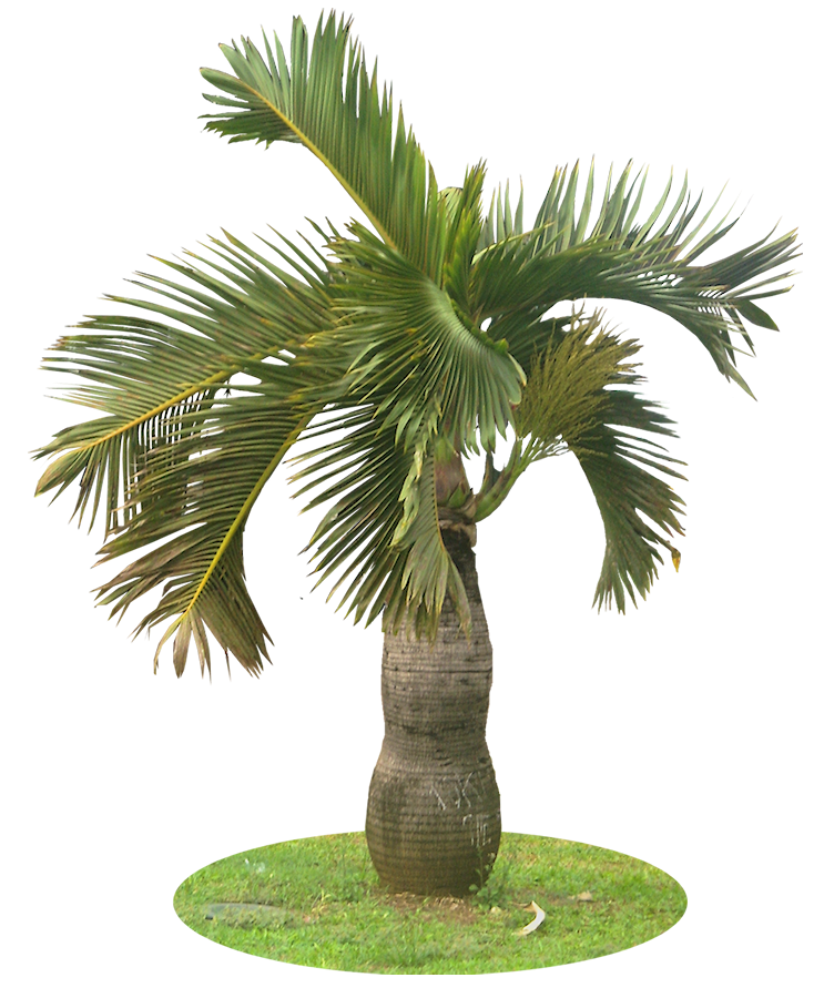 Palm .png. Tropical plant pictures hyophorbe