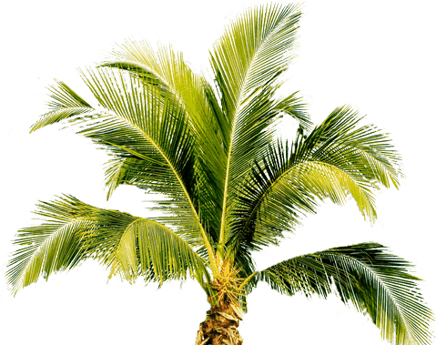 Palm leaf png. Tree transparent pictures free