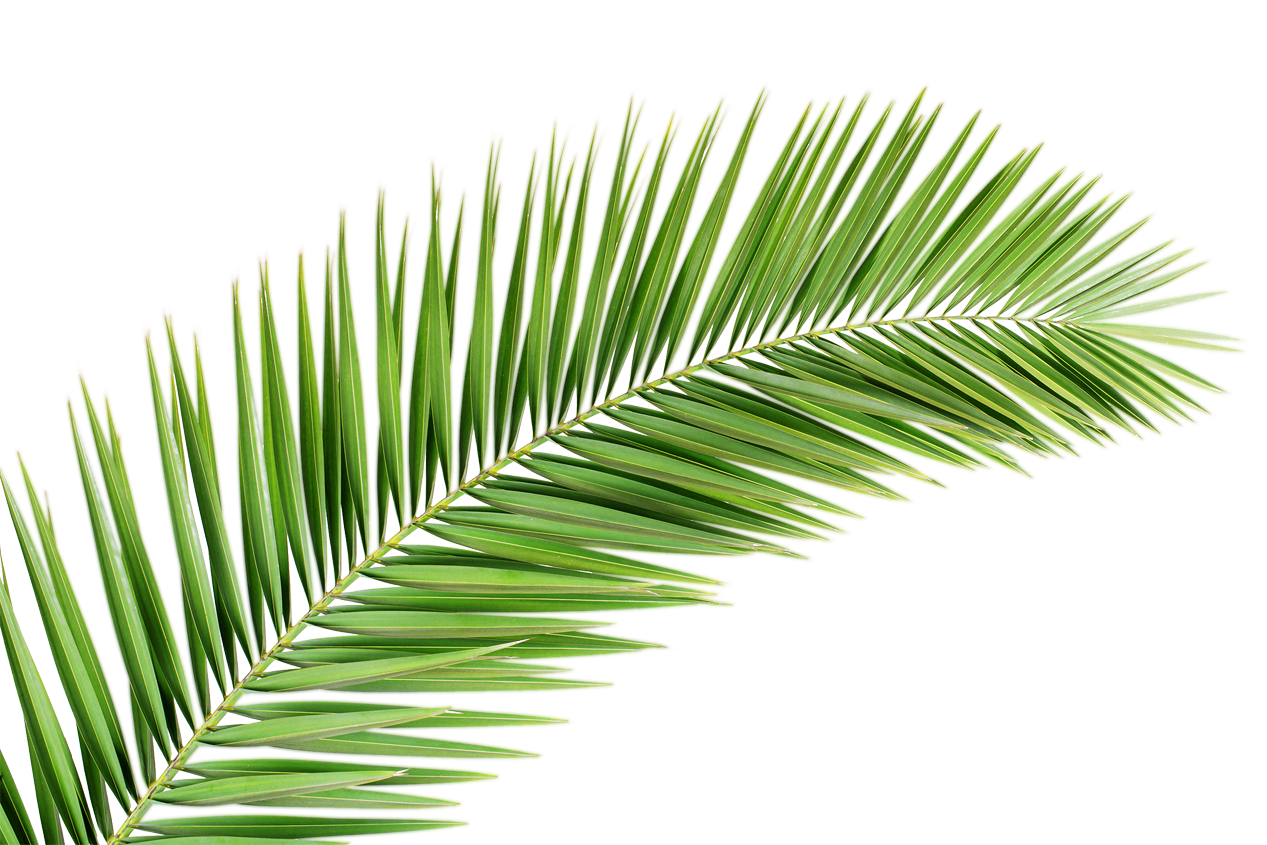 Palm tree branch png. Transparent images free donwload