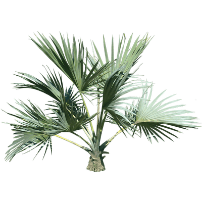 Palm trees tumblr png. Top tree transparent stickpng