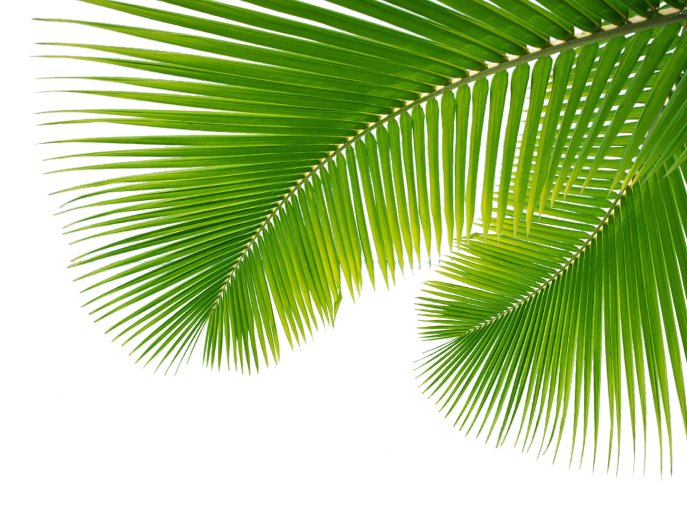 Png palm leaf. Transparent pictures free icons